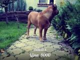 Собаки, щенята Мальоркскій бульдог (Ка Де Бо), ціна 3700 Грн., Фото