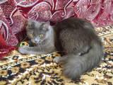 Кішки, кошенята Російська блакитна, ціна 1 Грн., Фото