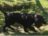 Собаки, щенки Английский коккер, цена 1200 Грн., Фото