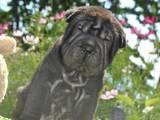 Собаки, щенята Шарпей, ціна 2802 Грн., Фото