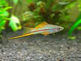 Рибки, акваріуми Рибки, ціна 20 Грн., Фото