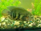 Рибки, акваріуми Рибки, ціна 150 Грн., Фото