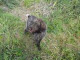 Собаки, щенята Різне, ціна 600 Грн., Фото
