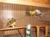 Папуги й птахи Канарки, ціна 70 Грн., Фото