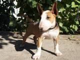 Собаки, щенята Бультер'єр, ціна 9065 Грн., Фото