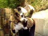 Кішки, кошенята Сибірська, ціна 5 Грн., Фото