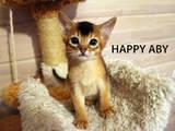 Кішки, кошенята Абіссінська, ціна 9000 Грн., Фото