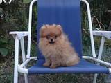 Собаки, щенки Померанский шпиц, цена 7500 Грн., Фото
