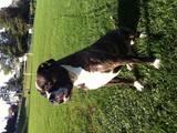 Собаки, щенята Американський бульдог, ціна 12000 Грн., Фото