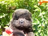 Собаки, щенята Чау-чау, ціна 5000 Грн., Фото