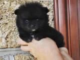 Собаки, щенята Померанський шпіц, ціна 4000 Грн., Фото