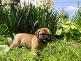 Собаки, щенята Бульмастиф, ціна 1000 Грн., Фото