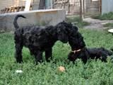 Собаки, щенята Чорний тер'єр, ціна 6000 Грн., Фото