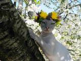 Кішки, кошенята Донський сфінкс, Фото