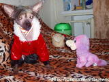 Собаки, щенки Китайская хохлатая собака, цена 1500 Грн., Фото