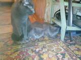 Кошки, котята Русская голубая, цена 300 Грн., Фото
