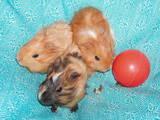 Грызуны Морские свинки, цена 50 Грн., Фото