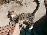 Кішки, кошенята Єгипетська мау, Фото