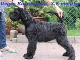 Собаки, щенки Ризеншнауцер, цена 6000 Грн., Фото