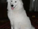 Собаки, щенята Самоїдом, ціна 2500 Грн., Фото
