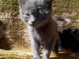 Кошки, котята Сиамская, цена 20 Грн., Фото
