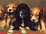 Собаки, щенки Английский коккер, цена 600 Грн., Фото