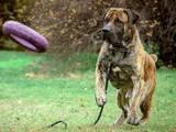 Собаки, щенята Південноафриканський Бурбуль, ціна 500 Грн., Фото