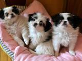 Собаки, щенки Японский хин, цена 1500 Грн., Фото