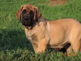 Собаки, щенята Англійська мастіф, ціна 13000 Грн., Фото