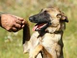 Собаки, щенята Бельгійська вівчарка (Малінуа), ціна 50 Грн., Фото