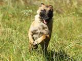 Собаки, щенки Бельгийская овчарка (Малинуа), цена 50 Грн., Фото