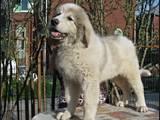 Собаки, щенки Пиренейская горная собака, цена 1550 Грн., Фото