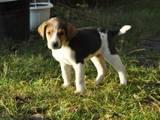 Собаки, щенята Невідома порода, ціна 700 Грн., Фото