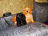 Собаки, щенята Американський коккер, ціна 1200 Грн., Фото