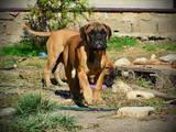 Собаки, щенки Бульмастиф, цена 11000 Грн., Фото