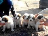Собаки, щенята Сенбернар, ціна 3200 Грн., Фото