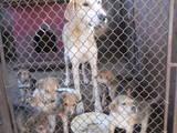 Собаки, щенки Русская борзая, цена 500 Грн., Фото