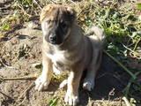 Собаки, щенята Кавказька вівчарка, ціна 2100 Грн., Фото