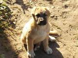 Собаки, щенки Кавказская овчарка, цена 2100 Грн., Фото