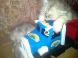 Кішки, кошенята Шиншила, ціна 600 Грн., Фото