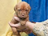 Собаки, щенята Бордоський дог, ціна 5000 Грн., Фото