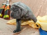 Собаки, щенки Мастино неаполетано, цена 7000 Грн., Фото