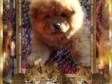 Собаки, щенки Чау-чау, цена 4000 Грн., Фото