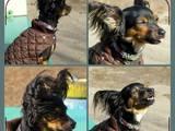 Собаки, щенята Російський довгошерстий тойтерьер, Фото