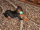 Собаки, щенята Пінчер, Фото