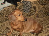 Собаки, щенки Гладкошерстная кроличья такса, цена 100 Грн., Фото