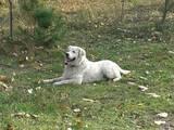 Собаки, щенята Золотистий ретрівер, ціна 1000 Грн., Фото