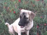 Собаки, щенки Турецкий кангал, цена 1500 Грн., Фото