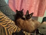 Кішки, кошенята Сіамська, ціна 10 Грн., Фото