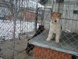 Собаки, щенята Жорсткошерстий фокстер'єр, ціна 800 Грн., Фото